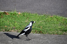An Australian Magpie With A Blade Of Grass Atop Its Beak Standing On A Footpath, Casting A Well-defined Shadow, Looking Towards The Street