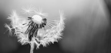 Closeup Of White Artistic Dandelion With Blurred Dramatic Dark Background, Artistic Nature Closeup. Spring Summer Meadow Field Banner Background, Soft Sunlight. Freedom, Inspire, Peaceful And Idyllic