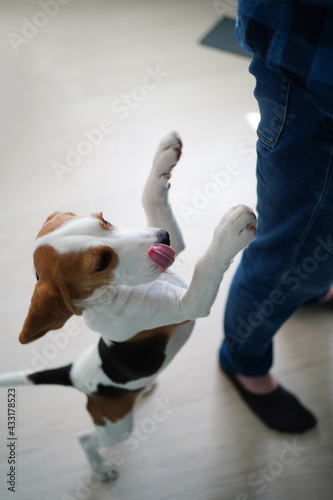 Fototapeta the dog stands on the hind legs, asks for food from table