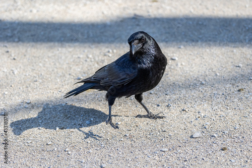 Naklejka premium The Common Raven, Corvus corax at Kleinhesseloher Lake in Munich, Germany