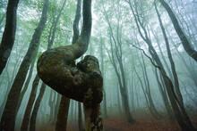 霧に覆われたブナの新緑と曲がった木