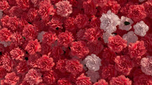 Pink Flowers Arranged To Create A Vibrant Wall. Beautiful, Romantic Background Formed From Colorful Carnations. 3D Render