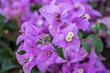 Leinwandbild Motiv purple and white Bougainvillea