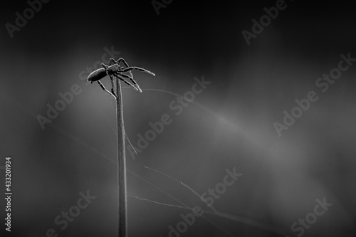 Stampa su Tela L'araignée équilibriste en plein tissage de sa toile