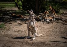 Big Kangaroo Looks To The Side, Wildlife