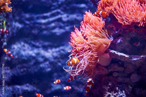 Clownfish near corals Fototapet