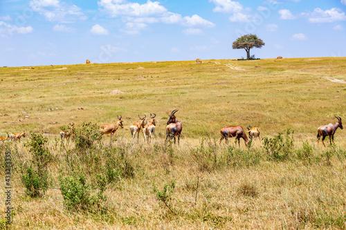 Fotografija Heard with Hartebeest on the savannah in Masai mara