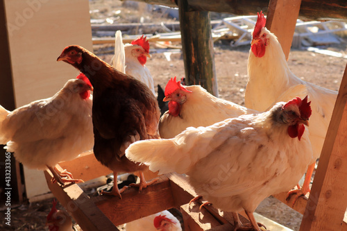 Photo chickens and roosters in the coop