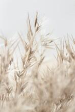 Dry Cool Tones Beige Romantic Cane Reed Rush On Light Background Macro