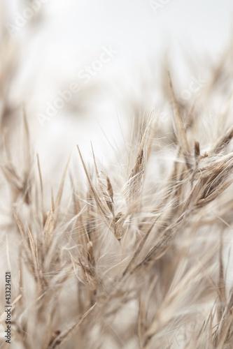 Obraz na plátně Dry beige color reed grass heads with fluffy buds on light background macro