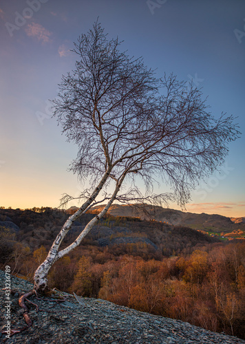 Fototapeta A young silver birch tree at sunset growing amongst the offcuts of slate from th
