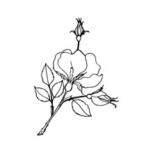 Rosehip Branch With Bud And Leaves, Black Outline Drawing With White Fill.