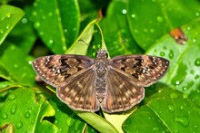 Horace's Duskywing (Erynnis Horatius) Butterfly With Wings Open On Wet Indian Hawthorn Leaves.