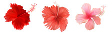 Red And Pink Hibiscus Flower Set Isolated On White Background. Vector Illustration