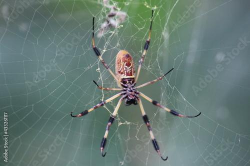 Fototapeta Banana Spider orb weaver on a web