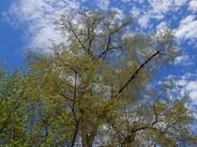 Poplar Tree With Catkins At Spring