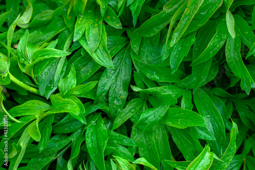 Canvastavla peony bush and leaves in garden close-up