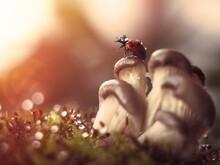 Ladybug Sitting On Mushrooms