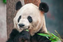 Chongqing, China - May 9, 2010: Panda House In Zoo. Facial Closeup Of Black And White Animal Eating Greens.