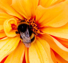 The Bumblebee Seen Feeding On The Centre Of An Orange Flower