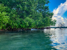 Tropical Mangrove Trees And Roots
