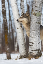 Grey Wolf (Canis Lupus) Stands Between Trees Looking Up Winter