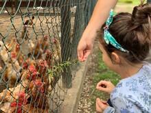 High Angle View Of Girl Feeding On Hens