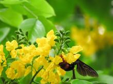 Pterocarpus Indicus Willd