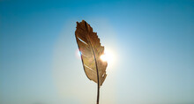 Single Pigeon Feather And Sunlight Passing Through It, Blue Sky.