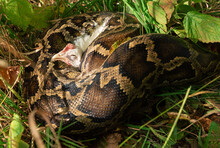The Python Has Captured Its Prey. Capture A Chicken With A Boa Constrictor. Boa In The Grass