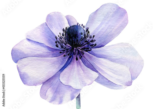 Billede på lærred Watercolor lilac flower, anemone on isolated white background
