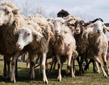Flock Of Black White And Brown Curly Haired And Shaven Sheep Graze In Pen In Village. Sheep Eat Fresh Green Grass. Pasture Of Domestic Sheep And Rams Walking On Farm.