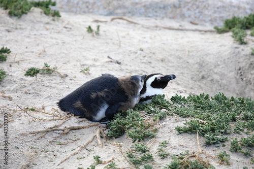 Naklejka premium African penguins at Boulders Beach, South Africa