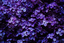 Beautiful Purple Background From Lilac Flowers Close-up. Spring Flowers Of Lilac. Dark Photo.