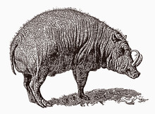 Threatened Buru Babirusa, Babyrousa Babyrussa With Distinctive Tusks In Profile View, After An Antique Engraving From The 19th Century