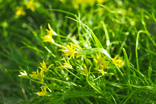 Yellow Star Of Bethlehem Or Gagea Lutea, Early Spring Flower,  Liliaceae