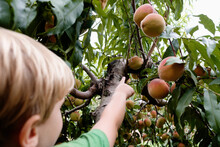 Rear View Of Boy Reaching To Pick Peach From Tree On Fruit Farm