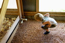 Young Boy Bending Down, Looking At Fluffy Chicks