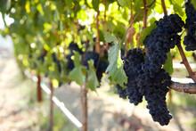 Grapes Growing In Vineyard, Napa Valley, California, USA