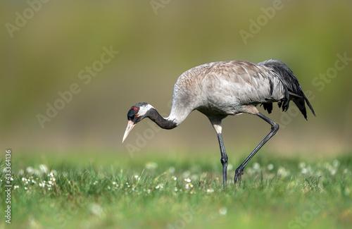 Naklejka premium Common crane bird close up ( Grus grus )