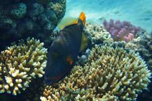 Orangelined Triggerfish (Balistapus Undulatus) Fish