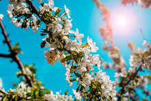 Blooming Cherry Branches On The Background Of A Blue Sunny Sky