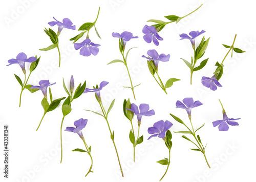 blue periwinkles isolated on white background. Spring flowers. Fototapeta