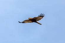 Marsh Harrier, Circus Aeruginosus, Birds Of Prey Landing On The Blue Sky. Czech Republic, Europe Wildlife