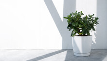 Beautiful Crassula Ovata, Jade Plant,Money Plant, Succulent Plant In The Sun On The Background To A Brick White Wall. Home Decor And Gardening Concept. Banner