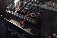 Several Domestic Chickens In A Metal Cage, Pecking Away At Grains, On Farm, Ambient Light