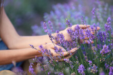 Selective Focus Of Female Hands Gently Touching Purple Flowers In Endless Lavender Field. Unrecognizable Young Female Enjoying Summer Harvest, Warm Sunshine. Concept Of Nature Beauty.