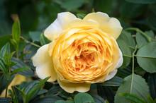 English Rose 'Golden Celebration', A Deep Yellow Double Flower