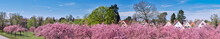 Banner, Sakura Around Fliegeberg Hill In Liliental Park, South Berlin. Sea Of Pink Sakura Flowers And Roofs Of Traditional German Houses Under Blue Sky. Panoramic Banner Image.