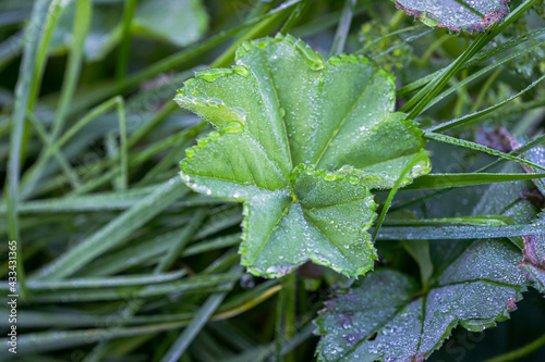 Obraz na plátně Alchemilla mollis the leaves of lady's mantle after a rain with water droplets